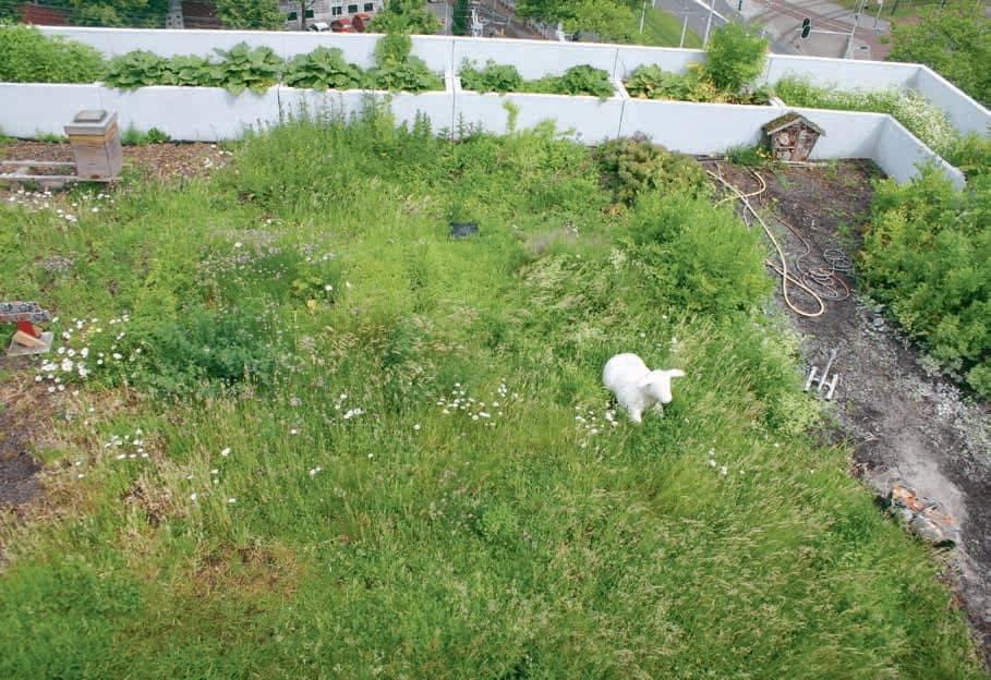 Groen dak met schaap